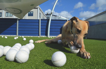 Battersea dogs get teeth into Queen's Club's balls